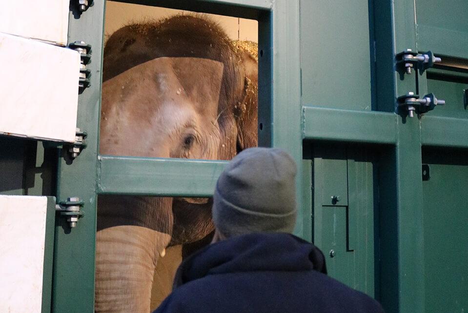 Moving Twycross Zoo Elephants